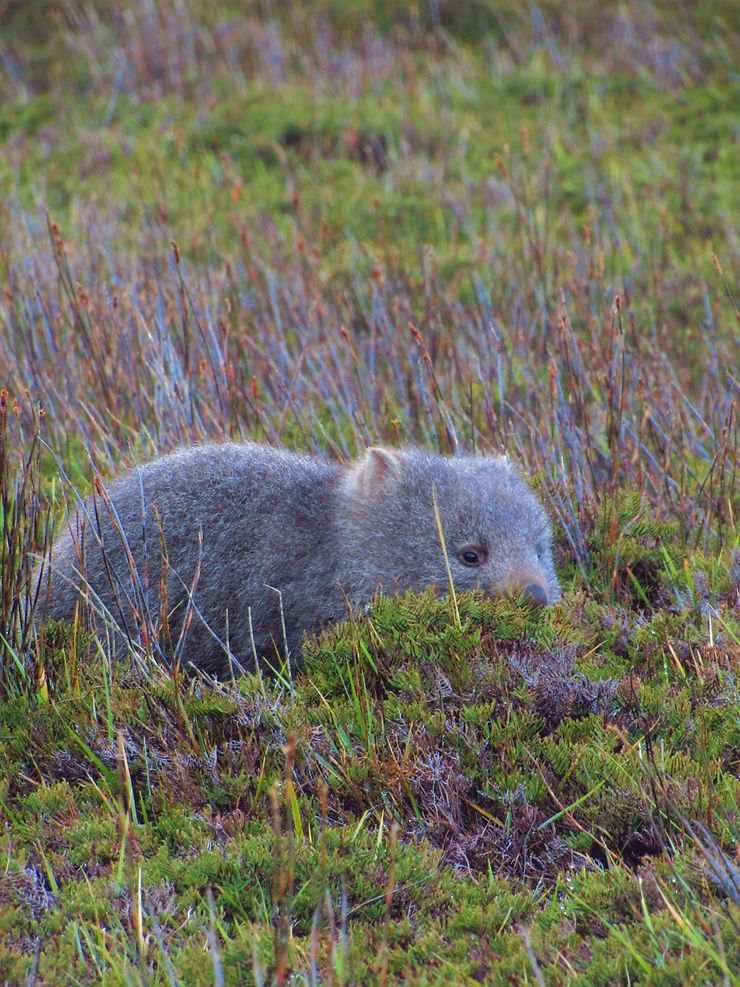 Jeune wombat, Tasmanie