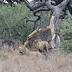 En liberté dans le Parc National Kruger