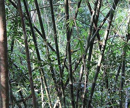 Bambous dans la jungle