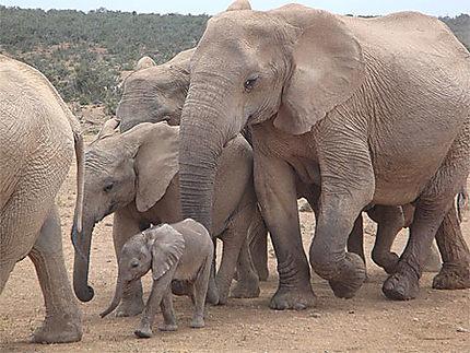 Addo NP et ses éléphants