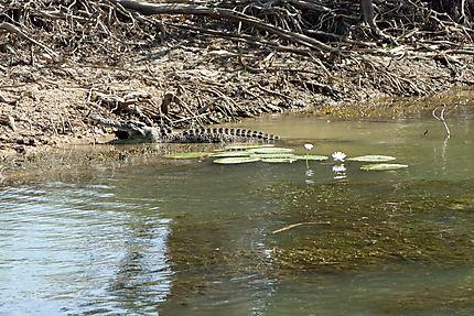 Déjeuner du crocodile