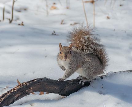 Écureuil gris à Central Park