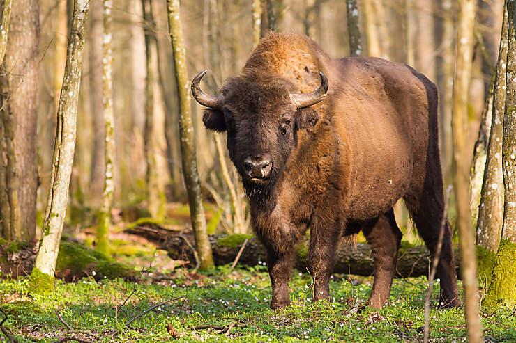 Qui a vu le bison de Białowieża ?