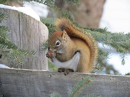 Écureuil à Métis-sur-Mer, Gaspésie