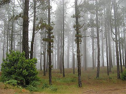 Forêt de pins des Canaries dans le brouillard