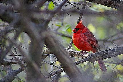 Rouge comme un cardinal