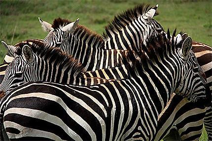 Zèbres dans le Serengeti