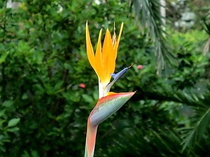 L'estreliza (l'oiseau du paradis)