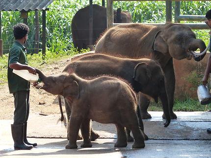 Orphelinat d'éléphanteaux