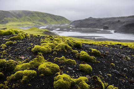 Mousses islandaises