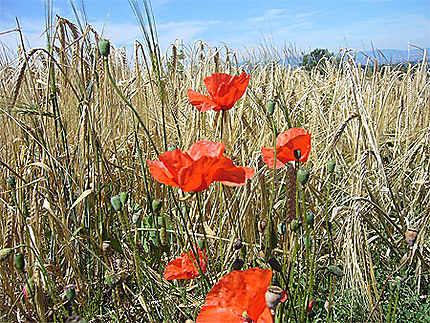 Coquelicot sur champ de blé