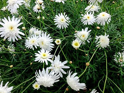 Marguerites au jardin botanique