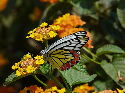 Beau papillon coloré
