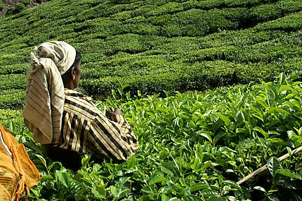 Cueilleuse de thé au Kerala