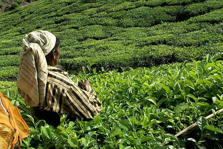 Cueilleuse de thé au Kerala, Inde
