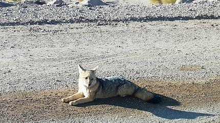 Renard dans l'Atacama