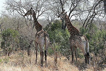 Belles girafes