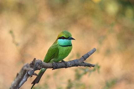 Oiseau au Parc national d'Uda Walawe