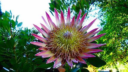 Fleur emblématique de l'Australie