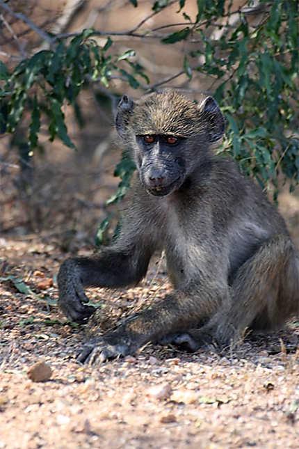 Petit babouin chacma