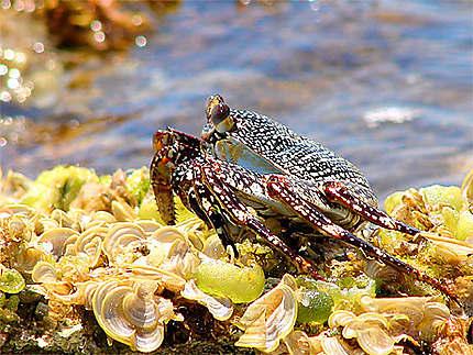 Crabe de Saint Martin