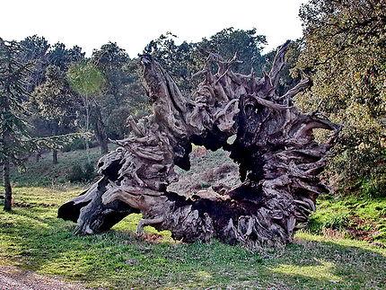 Vieux tronc de châtaignier