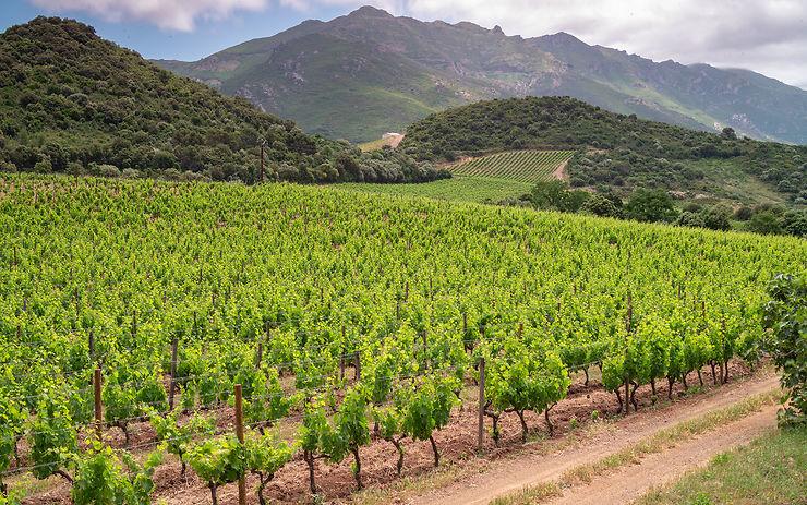Conca d'Orú, vignoble de Patrimonio - golfe de Saint-Florent (Corse)