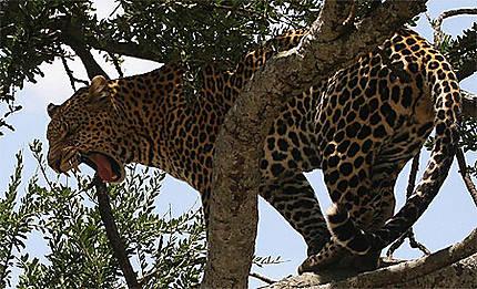 Léopard au Massaï-Mara