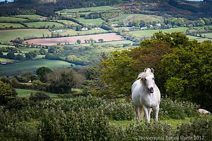Un cheval irlandais