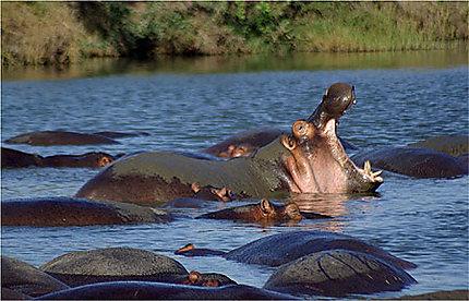 Dur d'être un hippo