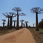 Morondava - Allée des baobabs