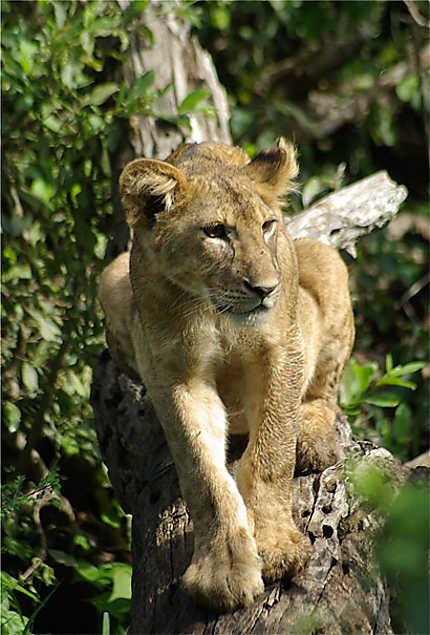 Jeune lion perché