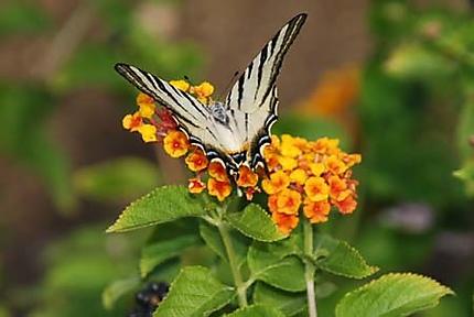 Papillon ou tête de mort ?
