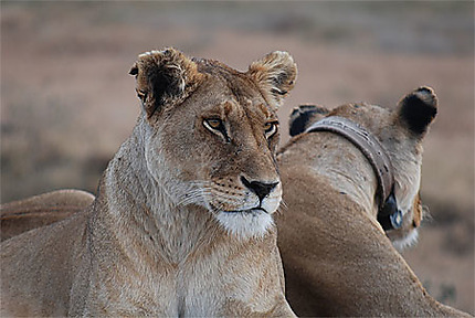 Lionnes