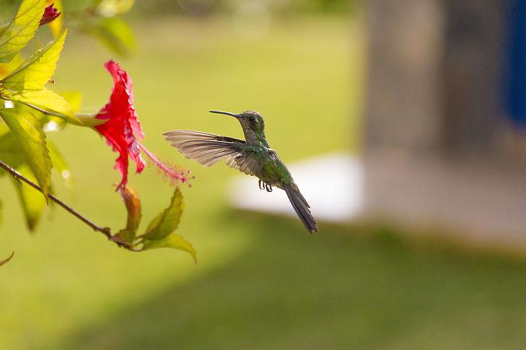 Colibri à Trinidad, Cuba