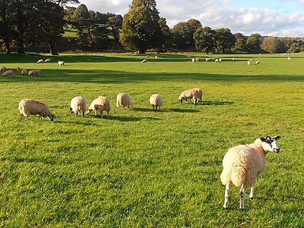 Moutons à Peak District