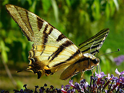 Machaon à La Lebre