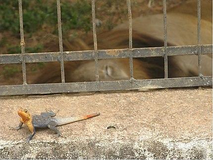 Lézard au zoo de Mvog-Betsi