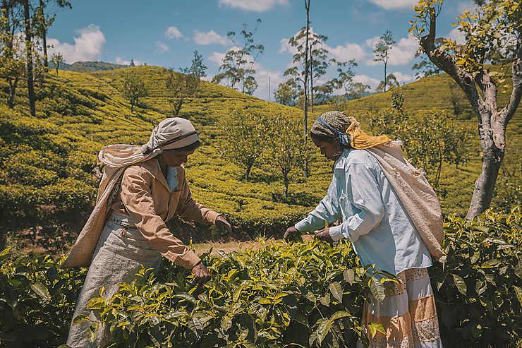 Cueillette de thé vert