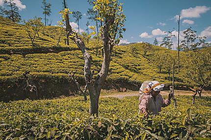Vallée du thé