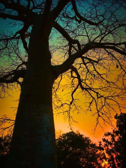 Coucher de soleil derrière un baobab