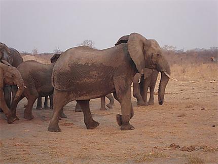 Eléphants dans un point d'eau