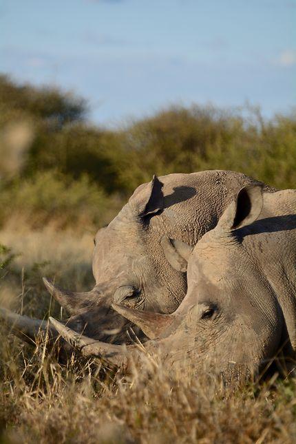 La sieste des rhinos