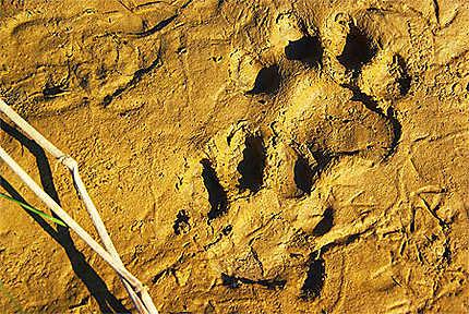Traces de Tigre dans l'Or du Couchant