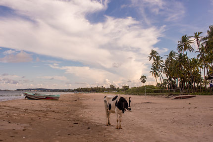 Vache sacrée à Trincomalee