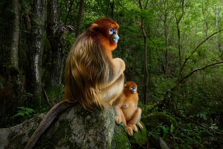 Couple de singes (rhinopithèques de Roxellane), Monts Qinling, Chine