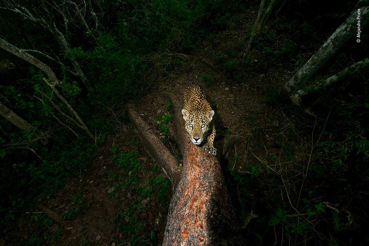 Jaguar, Sierra de Vallejo, Etat de Nayarit, Mexique