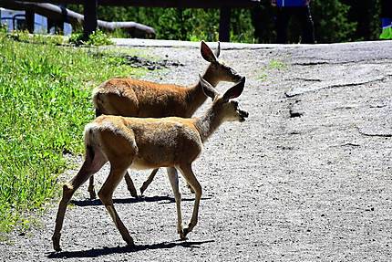 Les animaux du Yellowstone National Park