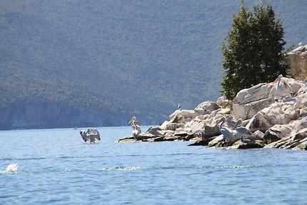 Pélicans effrayés au lac de Prespa
