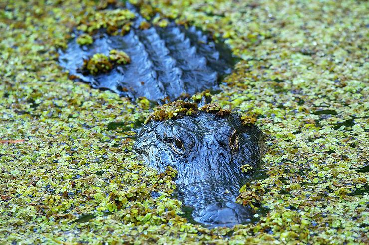 Crocodiles et alligators - Floride, États-Unis